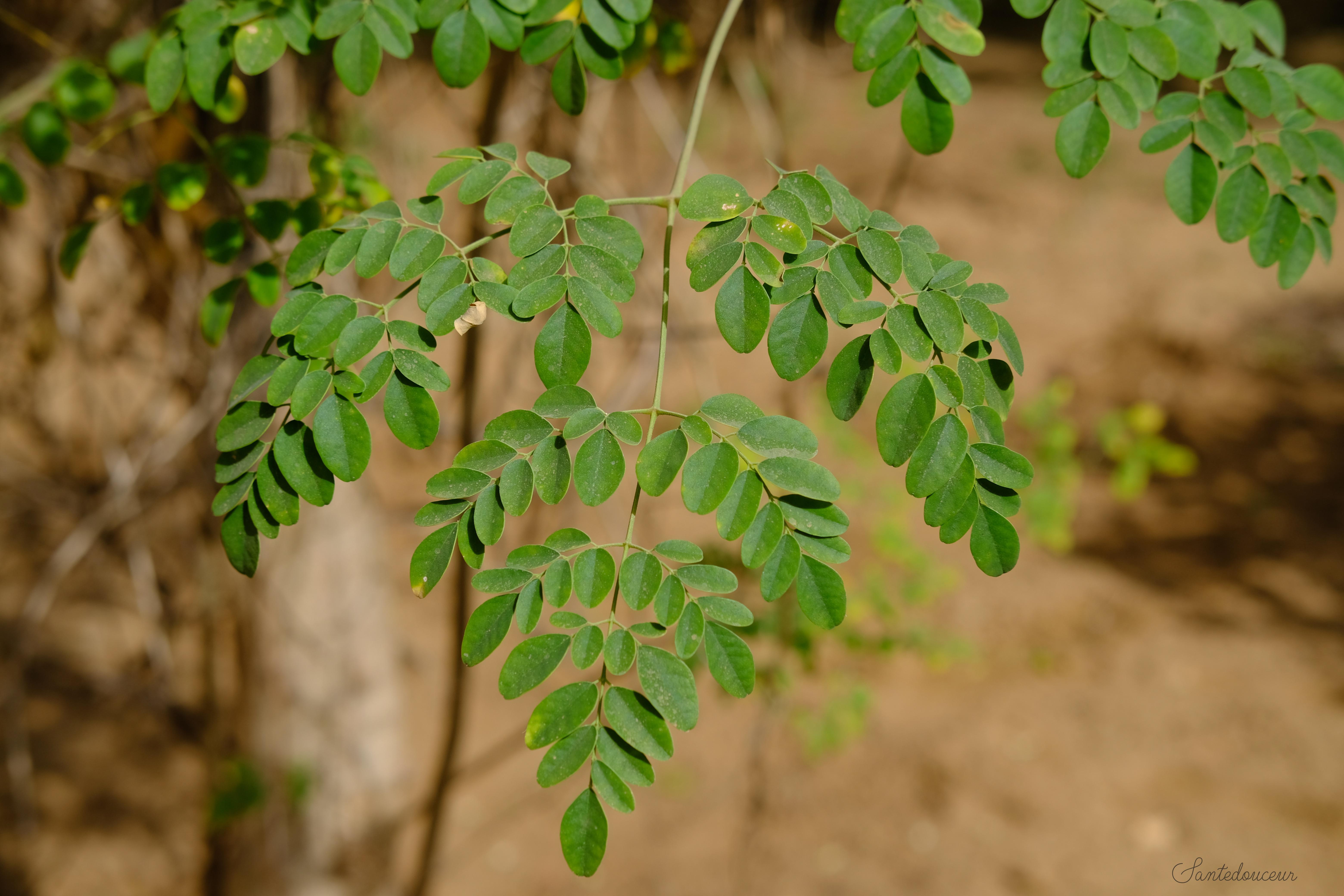 """Moringa """" l'arbre de vie"""" super-aliment"""